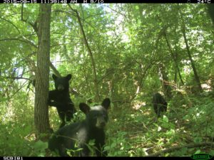 bearcubs-1